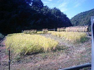 111029_稲刈り途中.jpg