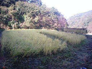 111029稲刈り開始1.jpg